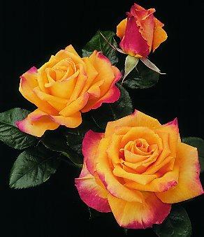 roseChrisEvert1
